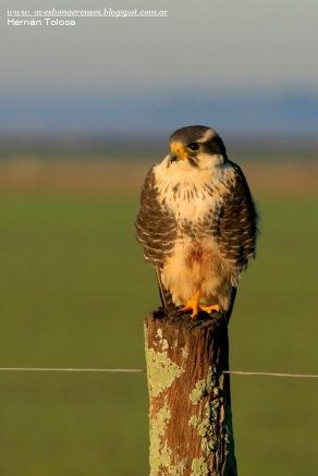 45 BIRDERS H Tolosa-Halcon plomizo (Falco femoralis)