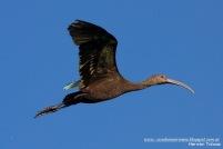47 BIRDERS H Tolosa-Cuervillo de cañada (Plegadis chihi)