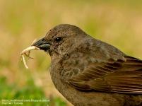 50 BIRDERS H Tolosa-Tordo renegrido (Molothrus bonariensis) hembra