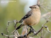 53 BIRDERS H Tolosa-Calandria mora (Mimus patagonicus)