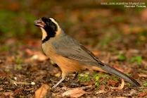 59 BIRDERS H Tolosa-Pepitero de collar (Saltator aurantiirostris)