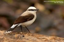 60 BIRDERS H Tolosa-Viudita enmascarada(Fluvicola nengeta)