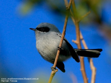 62 BIRDERS H Tolosa-Tacuarita azul (Polioptila dumicola)