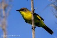 64 BIRDERS H Tolosa-Doradito comгn (Pseudocolopteryx flaviventris)