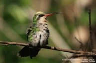 65 BIRDERS H Tolosa-Picaflor comгn (Chlorostilbon lucidus)