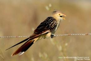 66 BIRDERS H Tolosa-Pirincho (Guira guira)