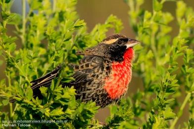 68 BIRDERS H Tolosa-Pecho colorado (Sturnella superciliaris) macho