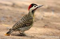 70 BIRDERS H Tolosa-Carpintero real (Colaptes melanochloros)