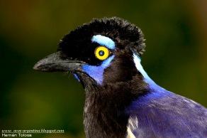 72 BIRDERS H Tolosa-Urraca (Cyanocorax chrysops)