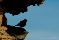 05 BIRDINGMURCIA - Biovisual - colirrojo
