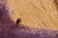 06 BIRDINGMURCIA - Biovisual - mochuelo