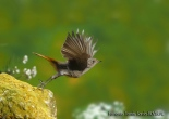11 BIRDINGMURCIA - Biovisual - colirrojo