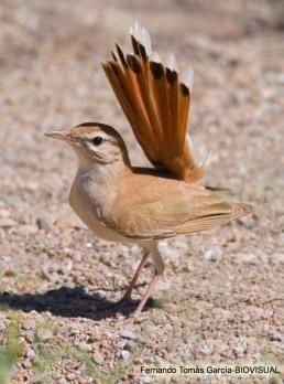 14 BIRDINGMURCIA - Biovisual - alzacola