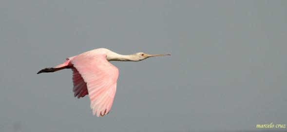 24 Birdingmurcia - Marcelo Cruz