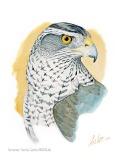 28 BIRDINGMURCIA - Biovisual - azor detalle