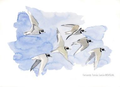 34 BIRDINGMURCIA - Biovisual - chorlitejos