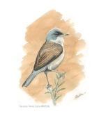 37 BIRDINGMURCIA - Biovisual - curruca tomillera