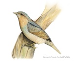 38 BIRDINGMURCIA - Biovisual - torcecuello
