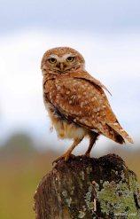 38 Birdingmurcia - Marcelo Cruz