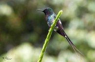 08 Joy Murillo - birdingmurcia