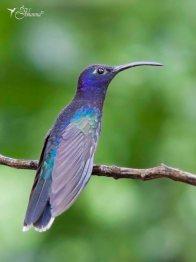 10 Joy Murillo - birdingmurcia