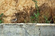 13 I. Arnaldos-birdingmurcia