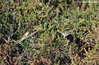 15 I. Arnaldos-birdingmurcia