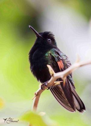 16 Joy Murillo - birdingmurcia