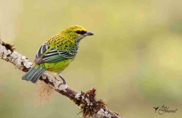 26 Joy Murillo - birdingmurcia