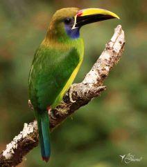 27 Joy Murillo - birdingmurcia