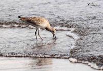 28 Joy Murillo - birdingmurcia