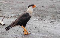 29 Joy Murillo - birdingmurcia