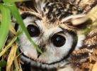 34 Joy Murillo - birdingmurcia