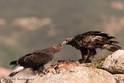 birdingmurcia-Arnold Moolenaar 05