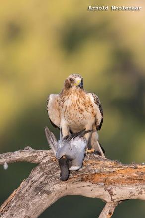 birdingmurcia-Arnold Moolenaar 07