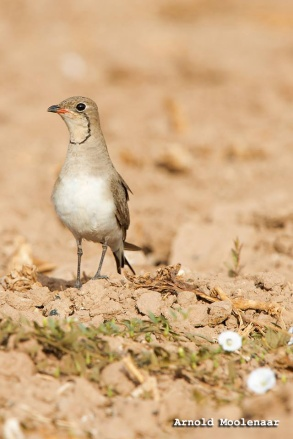 birdingmurcia-Arnold Moolenaar 08