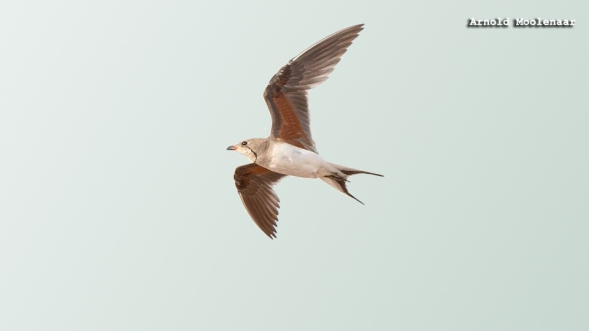 birdingmurcia-Arnold Moolenaar 09